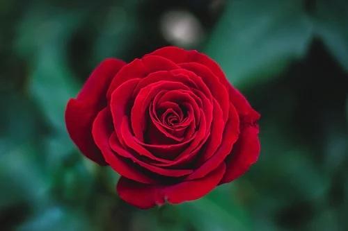 3 loài hoa may mắn cầu cho tình duyên vượng sắc, gia chủ mau tham khảo!