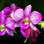 Hoa Lan Phong Thủy:  Loài hoa vương giả