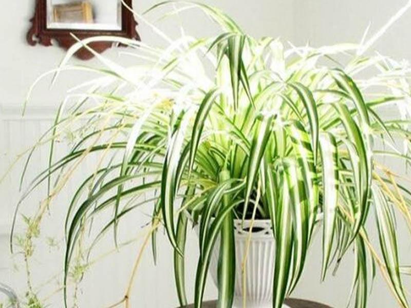 4 loại cây trồng trong nhà giúp gia chủ khỏe mạnh