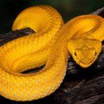 Có đáng sợ khi mơ thấy rắn vàng?