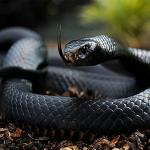 Giải mã giấc mơ thấy rắn đen- Mơ thấy rắn đen đánh con gì?