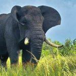 Nằm mơ thấy voi nhiều điều may mắn sẽ đến